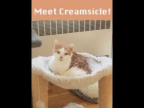 Creamsicle, an adoptable Domestic Short Hair in Kew Gardens, NY_image-1