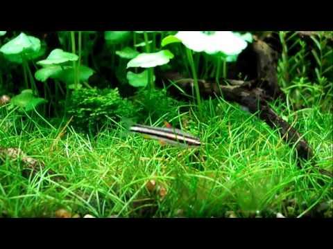 エサ探し中?のマジナータス・ペンシル Nannostomus marginatus