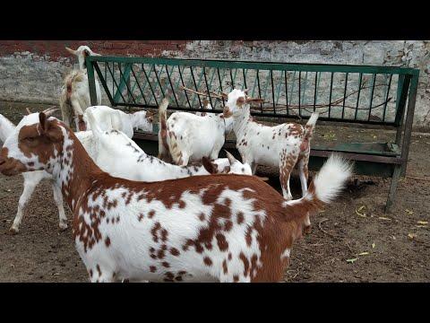 Barbari kids 0 6 Month Not4Sale At barbari goat farm