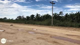 Freilaufend: Krokodil auf dem Weg in die Pampas