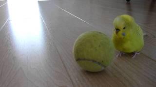 Попугай на шаре