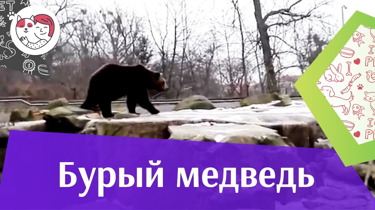 Бурый медведь Особенности зимовки на ilikepet