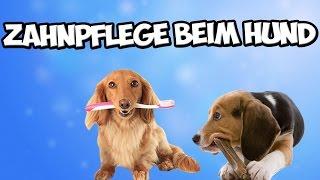 Zahnpflege beim Hund! Zahnstein vorbeugen! Zähne putzen? Tipps!!