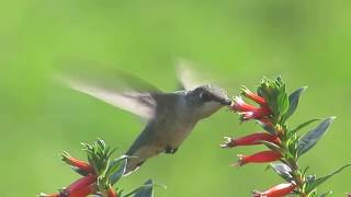 morris p rainville – hummingbird in a cigar plant
