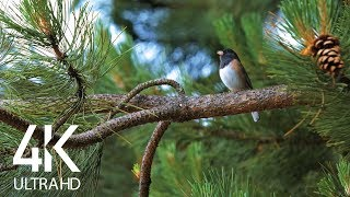 Bird Songs - 8 HOURS of Birds Singing in the Forest - Nature Relaxation Video in 4K Ultra HD