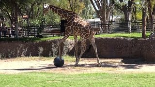 This Giraffe Gets A Kick Out Of Playing Soccer