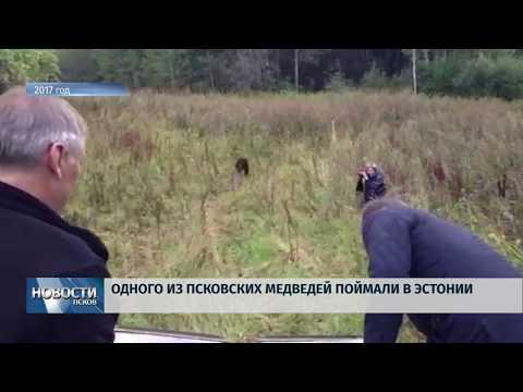 14.08.2019 / Одного из двух медведей поймали в Эстонии