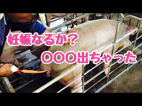 , title : '【そーやるんだ】豚の種付け