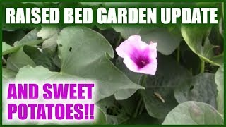 Raised Bed Garden And Sweet Potatoes | Gardening Beds | Sweet Potato Update