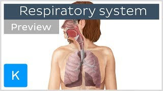 Organs of the respiratory system (preview) - Human Anatomy | Kenhub
