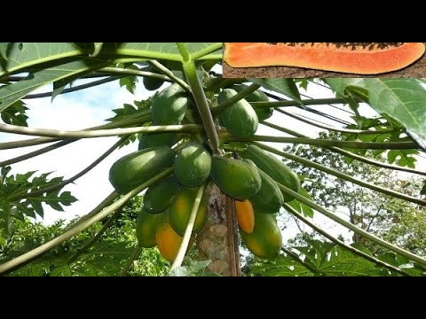 Making Pawpaw farming profitable on small scale - Part 1