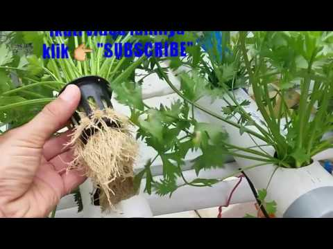 Video Seledri Hidroponik