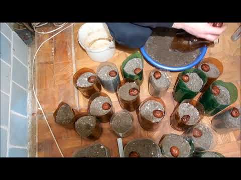 грецкий орех выращивание из семян быстрым методом,стратифицирование семян Часть-1, Walnut