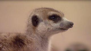 How to Speak Meerkat   BBC Earth