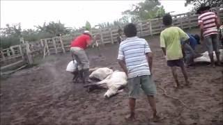 La Historia del Toro Negro - Luis Lozada Jr. El Cubiro  (Video)