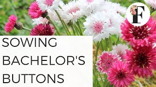 Sowing Bachelor's Button Seeds Hardy Annual Fall Flowers Growing Flowers from Seed Gardening