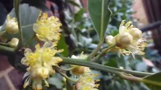 Bay laurel  - Laurus nobilis - Lárviðarlauf - Kryddplanta - Gul blóm