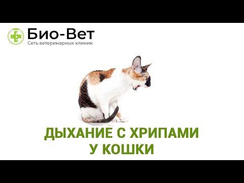 Дыхание с хрипами у кошки. Ветеринарная клиника Био-Вет.