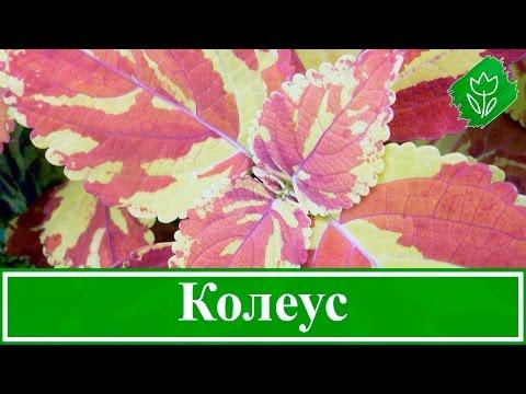 Цветок колеус – уход в домашних условиях; выращивание колеуса из семян