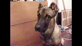 Как собака реагирует на гитлера