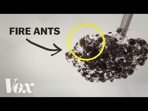 Bizarní vlastnosti ohnivých mravenců - Vox