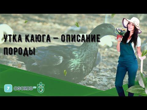 , title : 'Утка Каюга — описание породы