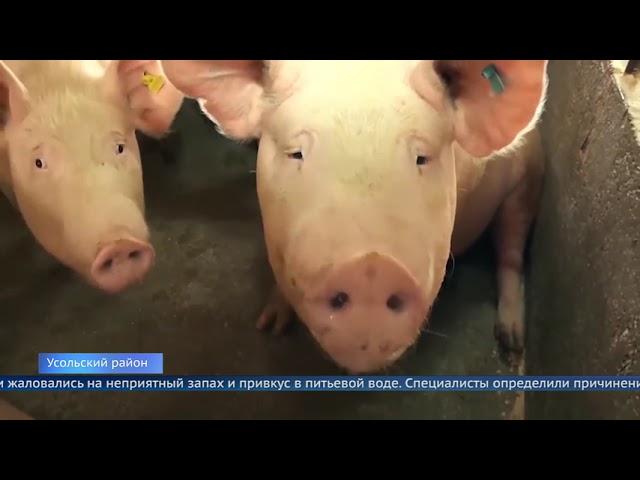 Суд приостановил работу «Усольского свинокомплекса»