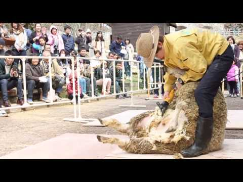 ヒツジの毛刈り モフモフがすっきりと