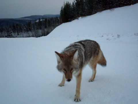 Napadení kojotem