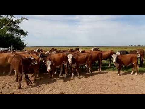 50 novillitos en San Miguel, Corrientes