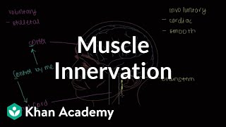 Muscle innervation | Muscular-skeletal system physiology | NCLEX-RN | Khan Academy