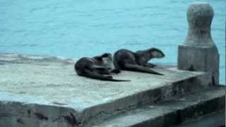 preview picture of video 'Sea Otters in Sync (Kuantan, Malaysia)'