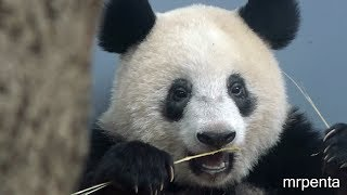 今日のシャンシャン10月12日上野動物園香香パンダ