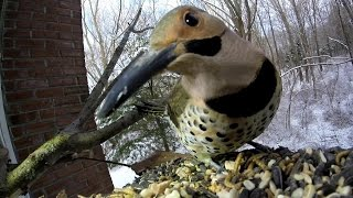 Flicker and Red-Bellied Woodpecker come a calling