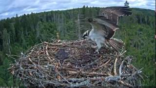 The young osprey dances with the objects.