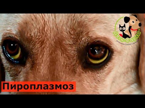 Основные симптомы пироплазмоза у собак