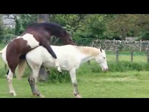 Fully Natural Horse mating human intervention Full HD