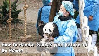 How To Handle Pandas Who Refuse To Go Home?   iPanda