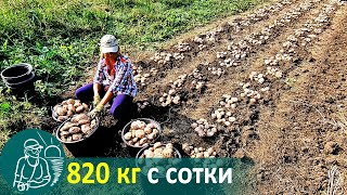 Growing Potatoes with Grass without Hilling 🚀 Potato Cultivation According to Gordeev's Technology