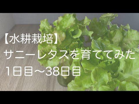 , title : '【水耕栽培】サニーレタスを育ててみた 1日目〜38日目