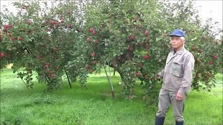 りんご肥大(ふじの肥大と着色状況 2017~成り枝更新剪定)