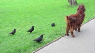 When Good Crows Go Bad