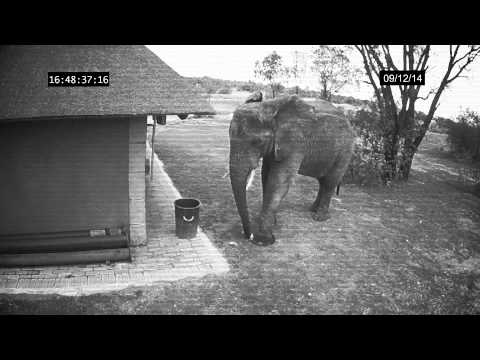 Elephant caught on CCTV cleaning up thrash