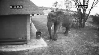 Смотреть онлайн Слониха убирает мусор в мусорное ведро