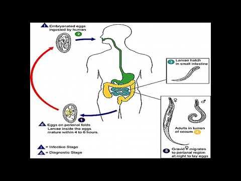 Sápadt spirochete parazita