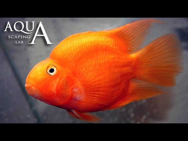 Aquascaping Lab - Red Blood Parrot Fish Cichlid description / Ciclide Pappagallo descrizione
