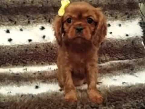 Gorgeous, Red Female Cavalier