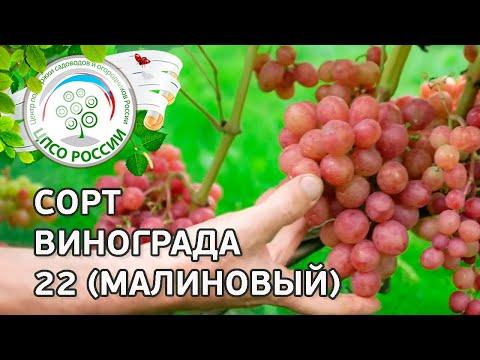 Сорт винограда 20-2 (малиновый). 🍇 Описание сорта винограда 20-2 (малиновый).
