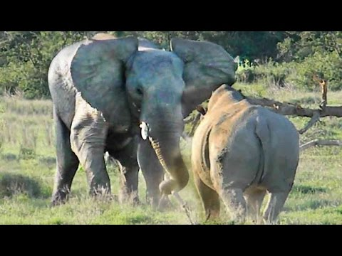 Elephant Shows Rhino Who's Boss!