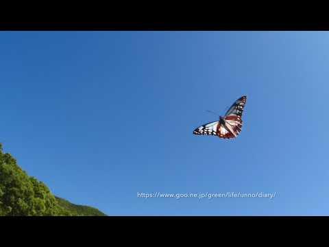 アサギマダラの飛翔をGH5の13.3%スローで